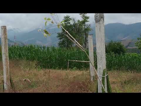 Pikat Burung Kolibri Kelapa