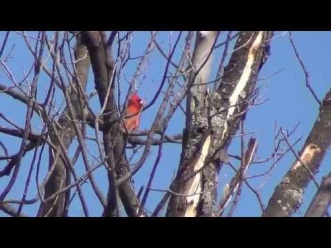 Chant du cardinal
