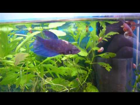 Kampffisch betta splendens youtube for Kampffisch betta