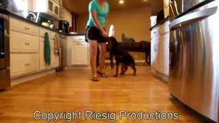 Rottweiler Puppy Training: Tyson