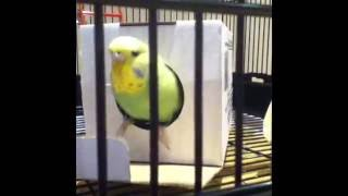 Unboxing My New Budgies!