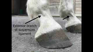 Signs of inflammation that could indicate the onset of Laminitis