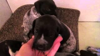 Gsp Puppies 3wks Old