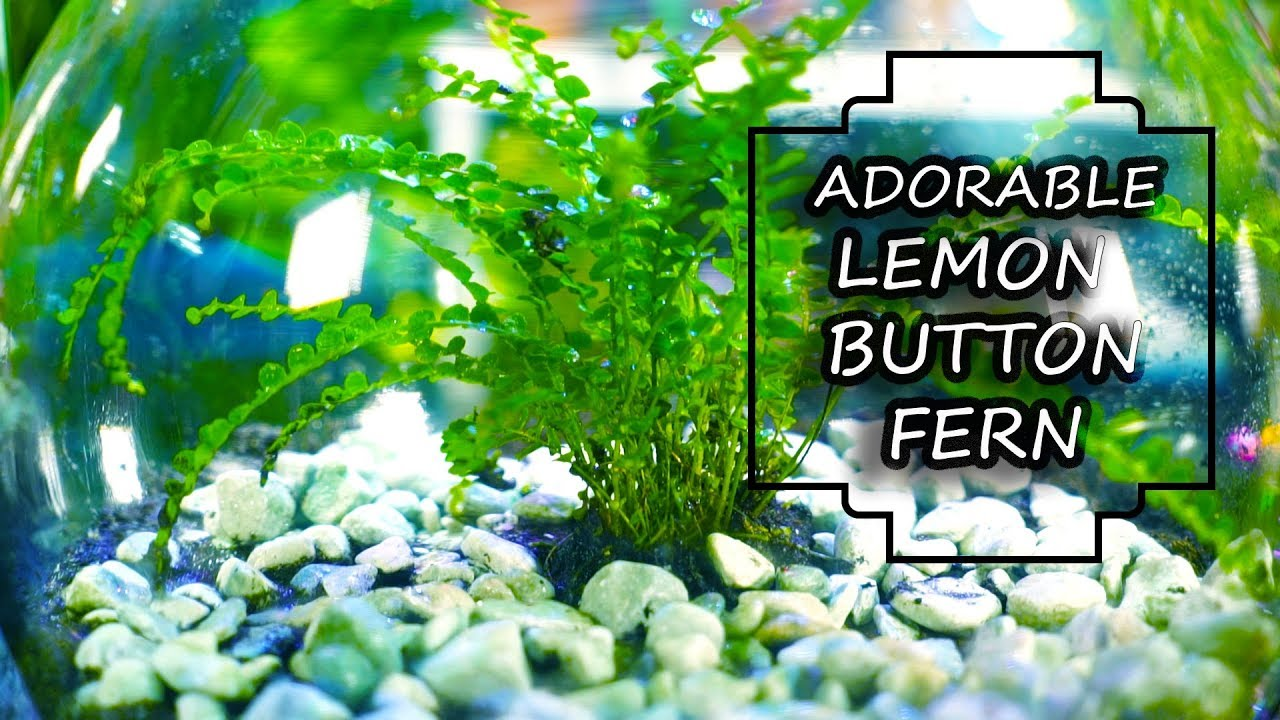 Lemon Button Fern Fern Friday Youtube