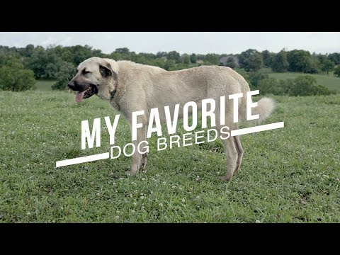 MY TEN FAVORITE DOG BREEDS