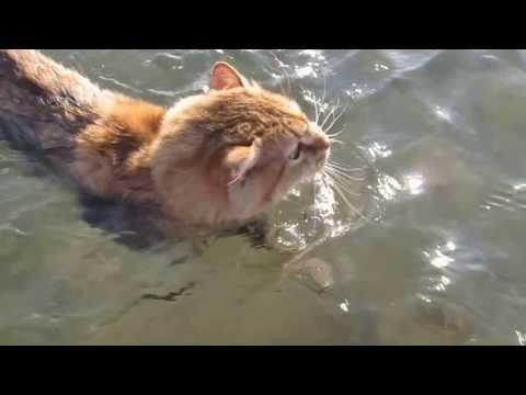 Aegean Greek cat swimming