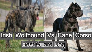 Cane Corso | vs | Irish Wolfhound | Best Guard Dog | Petz World