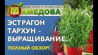 ЭСТРАГОН ТАРХУН - выращивание   Полный обзор от профессора Мамедова