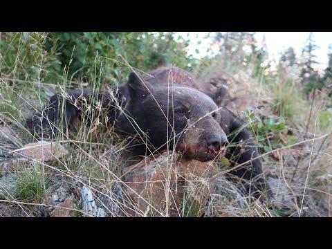 CATCHING BEARS – FALL 2020 BEAR HUNT