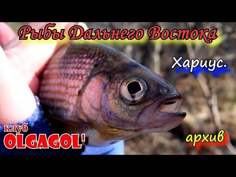 Хариус - Рыбы Дальнего Востока