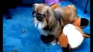 Собачка резко вырубилась после секса