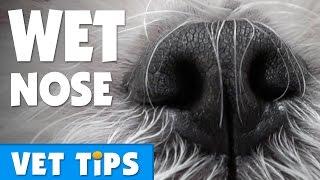 Why Are Dogs Noses Wet? | Bondi Vet