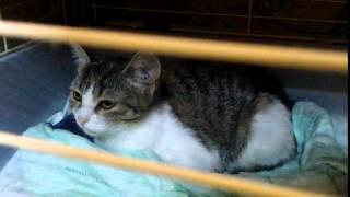 котенок девочка ОЛИСИЯ, 4 месяца