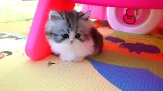 먼치킨 귀여운 새끼고양이와 첫만남! 아기고양이 키우기 입양 첫날 친해지기 Adopt a cute cat Bamnun 밤눈이