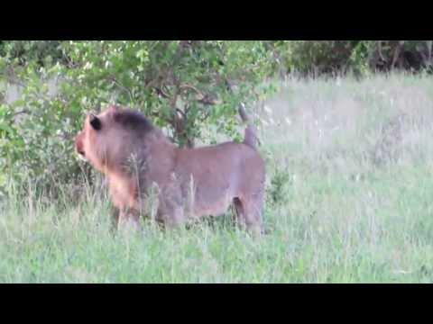 Tsavo Lion & Lioness - Tsavo West National Park