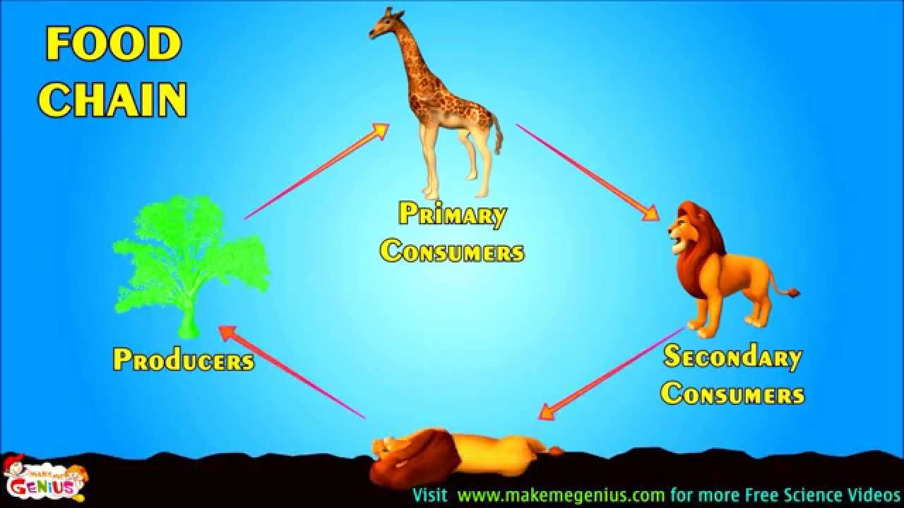 Food Chains Food Webs Energy Pyramid Education Video For Kids