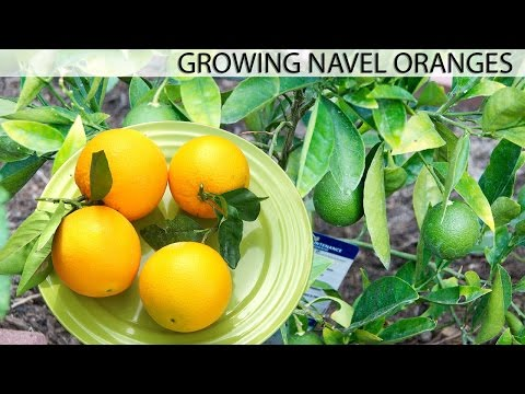 Growing The Best Oranges - Washington Navel Orange