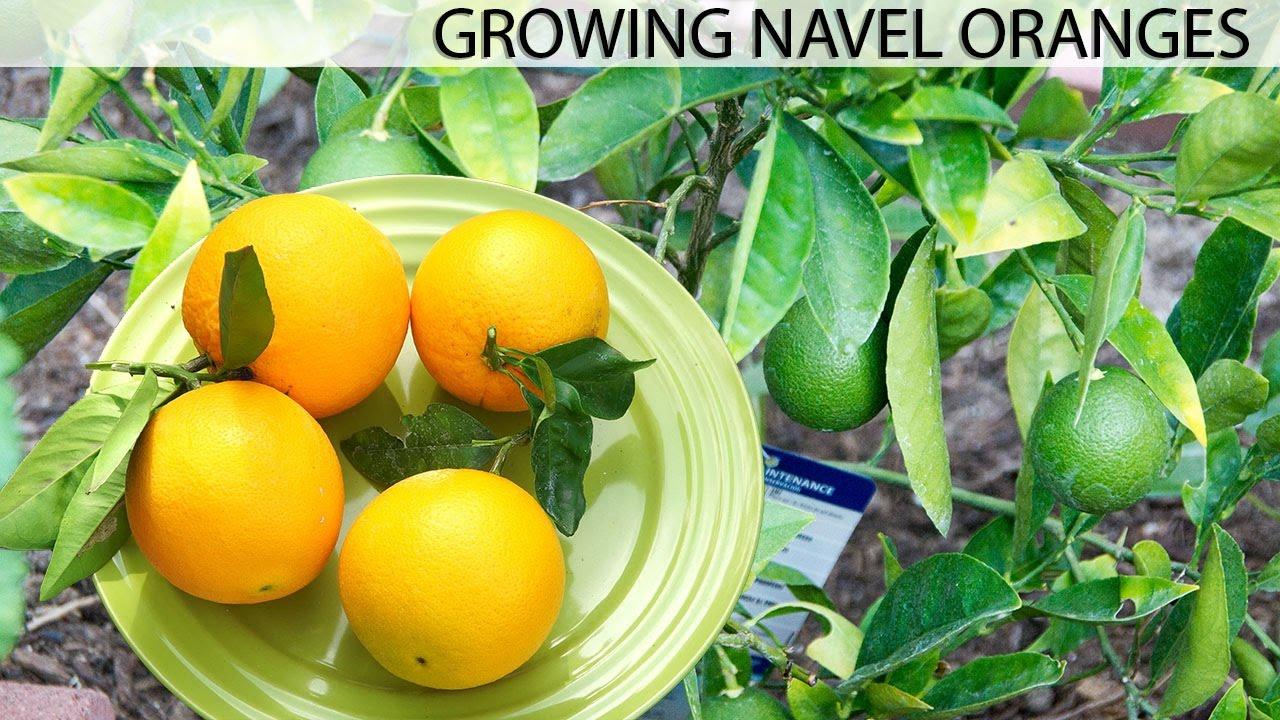 Growing The Best Oranges Washington Navel Orange