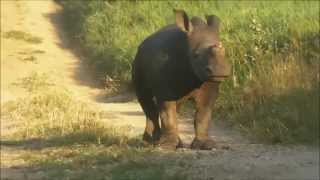 The Hoedspruit Endangered Species Centre, baby rhino Gertjie explores the outside world