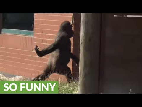 Gorilla Youngster With Attitude Walk Like Human