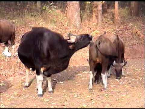 Testing Female for Sexual inter-course by  Indian Bison or Gaur in Kanha National Park