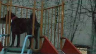 甲斐犬孫六がすべり台で遊んでます。 あっ、孫六はエマの旦那です。 子...