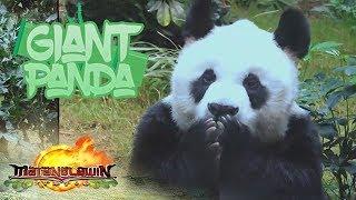 Matanglawin: Giant Pandas