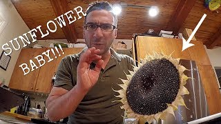 DIY: HARVESTING HOW TO HARVEST AND MAKE YOUR OWN SUNFLOWER SEEDS!!!
