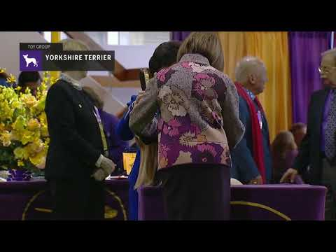 Yorkshire Terriers Part 1 | Breed Judging 2019