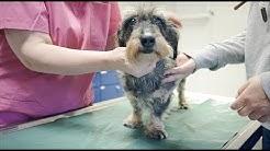 Eläinlääkärissä vanhan koiran kanssa: Riemun senioritarkastus