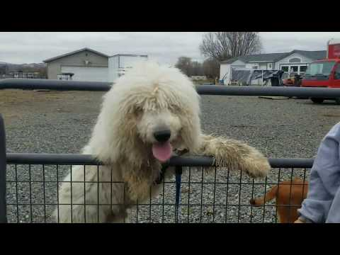 European Doberman Pinscher meets Komondor!