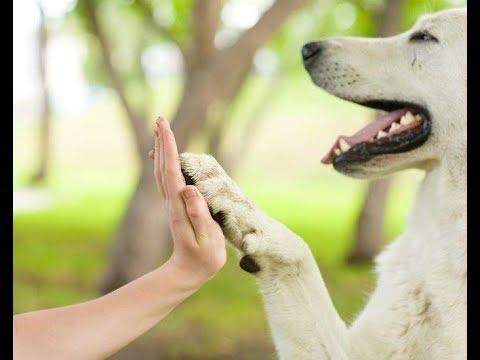 Вопрос: Как научить собаку давать пять?