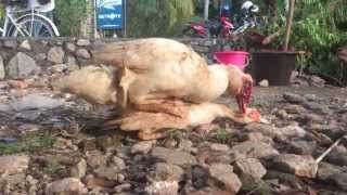 Duck Mating (bebek entok kawin)