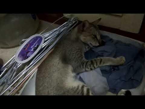 My Singapura Cat