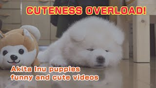 CUTENESS OVERLOAD! Akita Inu puppies funny & cute videos