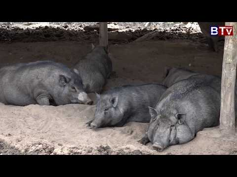 AGRICULTURE : Wild  Pig Feeding farm _Vol 03