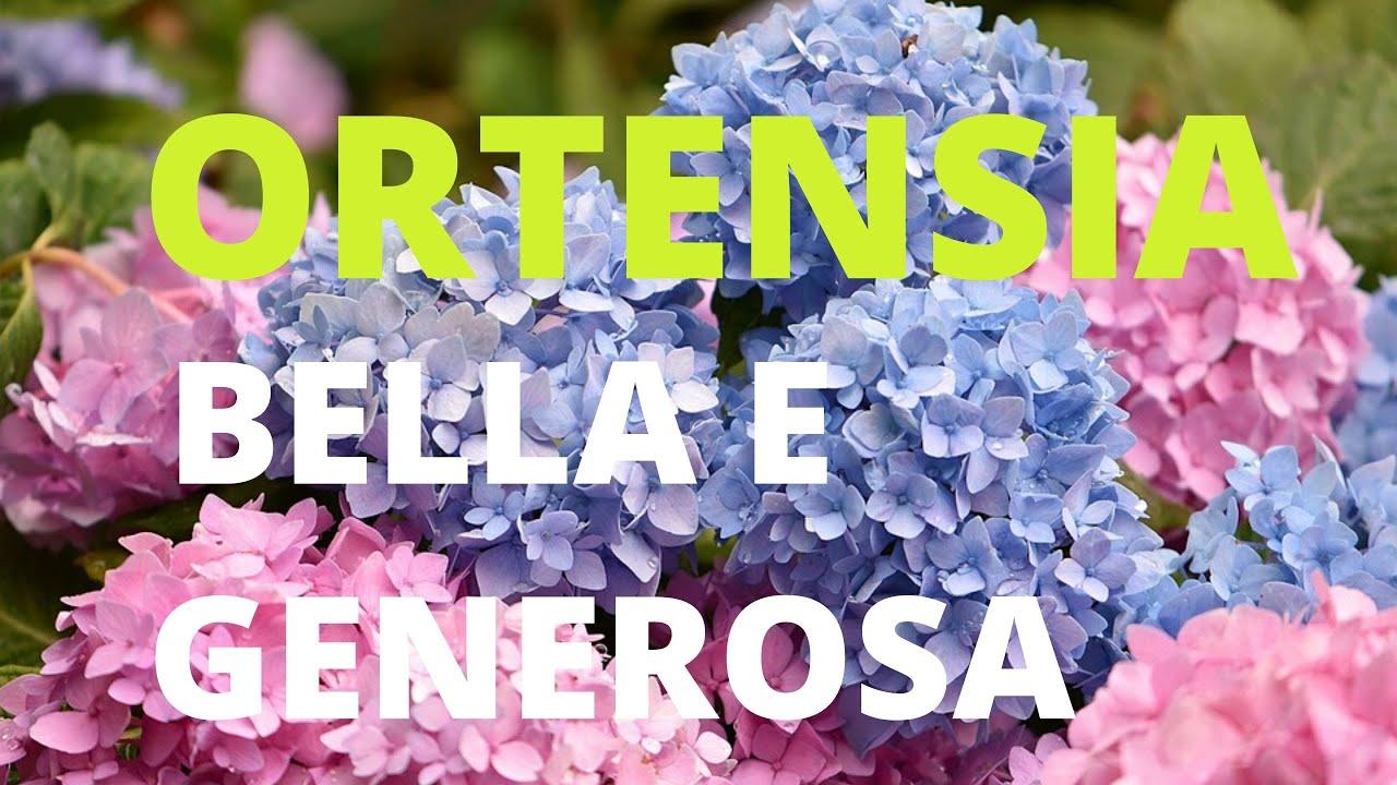 Come Curare Le Ortensie ortensia bella e generosa: come curarla