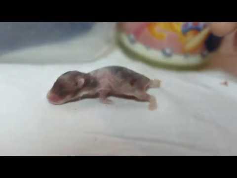 видео: Первая ночь Лаки без мамы-хомячихи