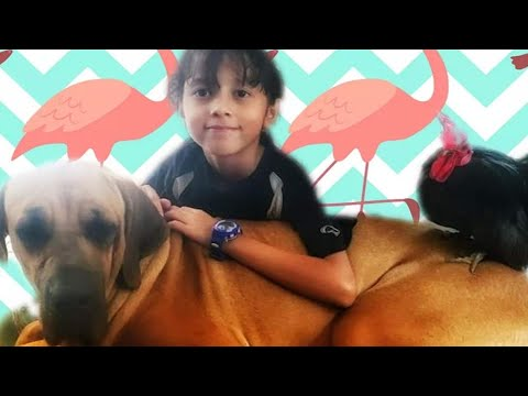 Magnificent Breed**TOSA INU** FROM JAPAN!! | (Japanese Mastiff)..