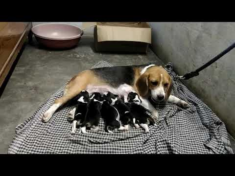 Beagle show quality heavy bone pups in kanpur 8318440084