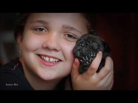 French bulldog / Buldog Francuski (HD)