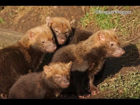 Five Cute And Very Hungry Bush Dog Puppies