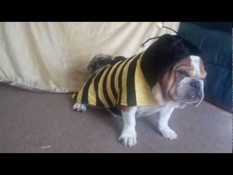 Jake our English Bulldog sporting a Bumble bee Halloween Costume!