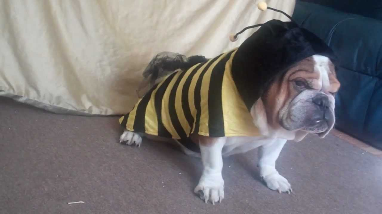 English Bulldog Halloween Costume