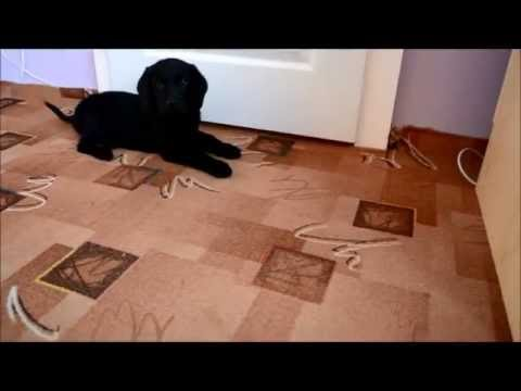 Crazy dog -  Flat Coated Retriever - Seth -  2 months