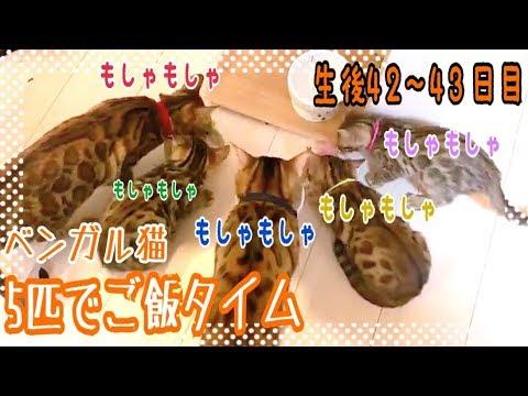 【生後42~43日目】5匹でご飯争奪戦!ベンガル猫ベルの子猫の成長記録