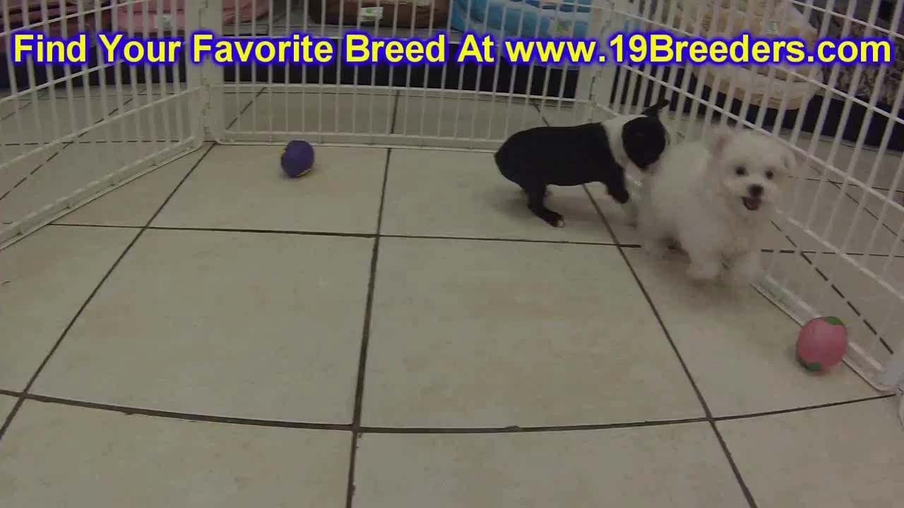 Boston Terrier, Puppies, Dogs, For Sale, In Memphis, Tennessee, TN,  19Breeders, Chattanooga