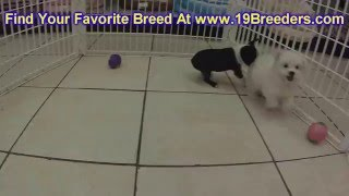Boston Terrier, Puppies, For, Sale, In, Green Bay, Wisconsin, Wi, Eau Claire, Waukesha, Appleton, Ra