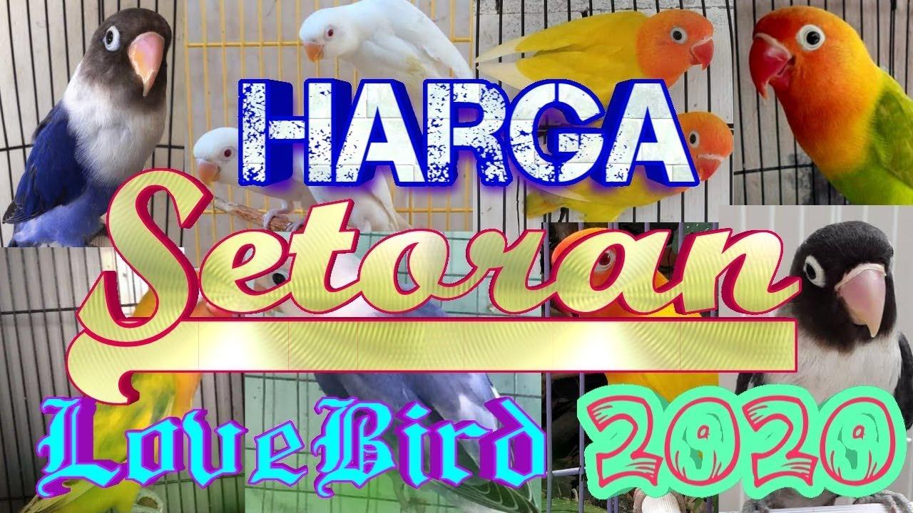 Beli lovebird anak terbaru di blibli ✔️ produk original ✔️ gratis ongkir. Harga Setoran Lovebird Tahun 2020 - YouTube