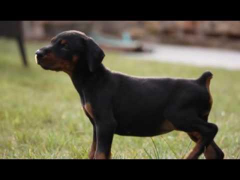 Puppies presentation-Hazar di Altobello x Electra di Altobello-30 days old puppies -only females